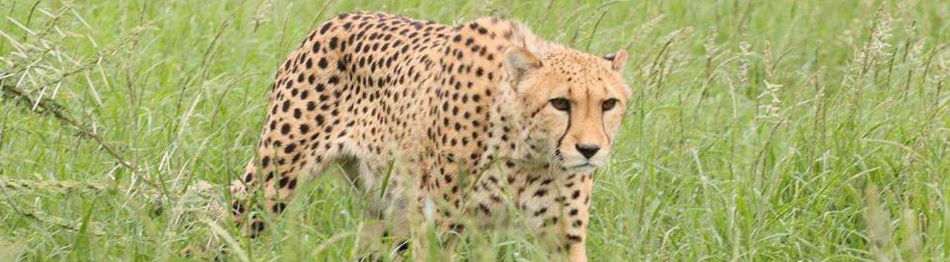Wild Cat Project in South Africa