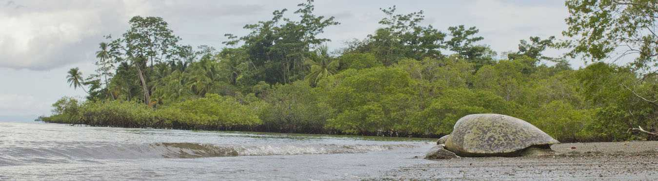 Costa Rica Green Turtle Research