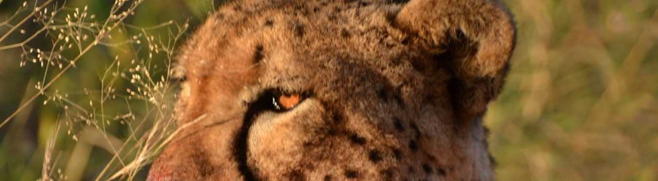 Cheetah Conservation and Research Project