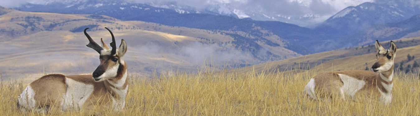 Yellowstone Wildlife Safari