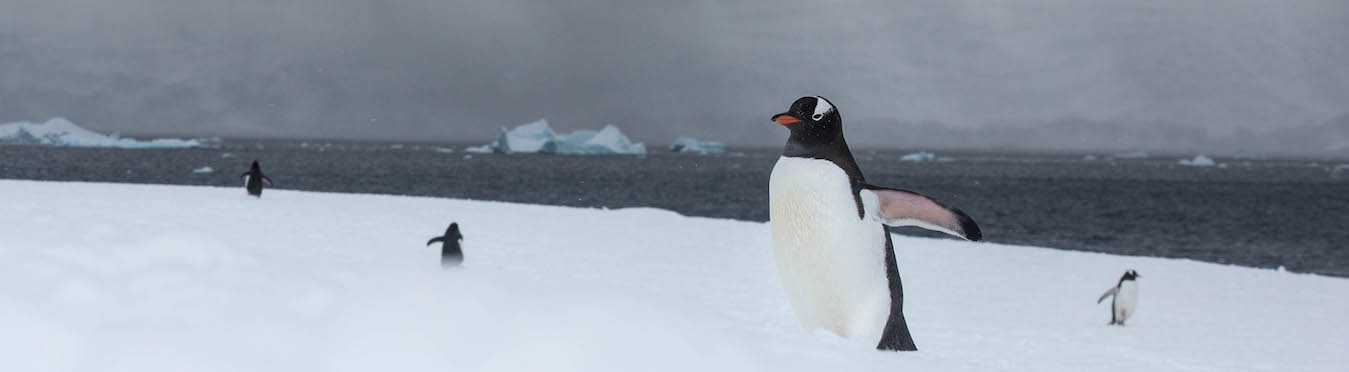 South Georgia and Antarctic Peninsula Penguin Safari