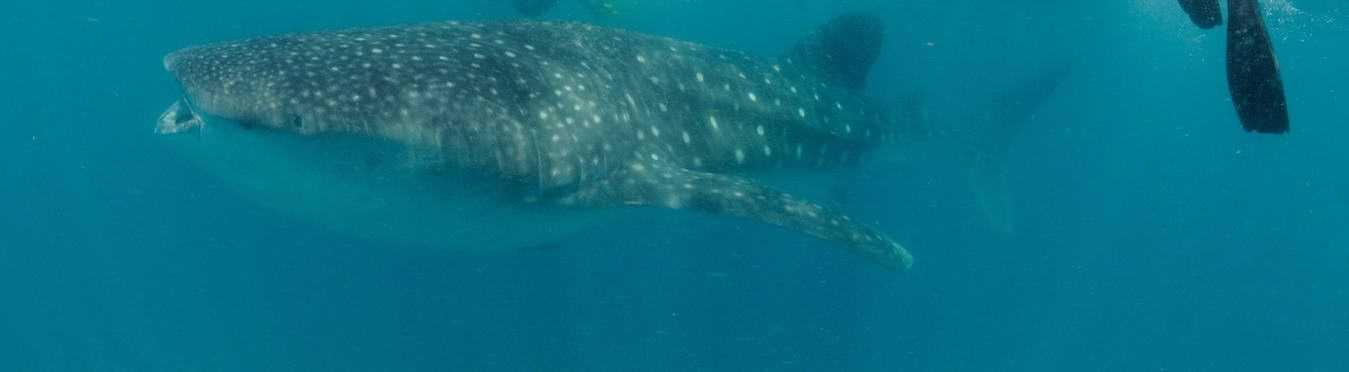 Work with Whale Sharks and Marine Conservation in Mozambique