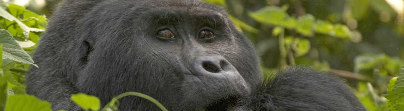 Great African Primate Expedition