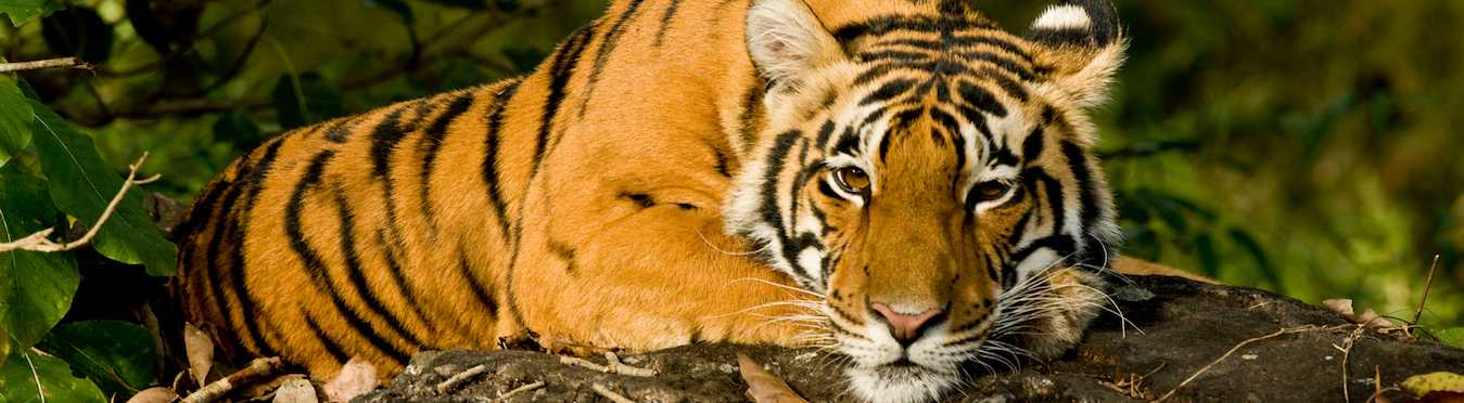 Tigers & Travels In India