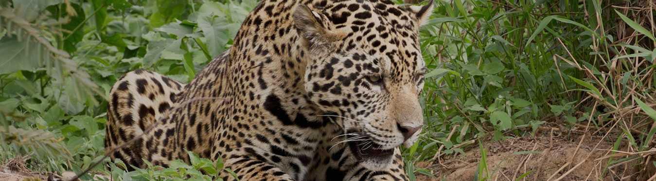 Costa Rica Jaguar Volunteer Expedition