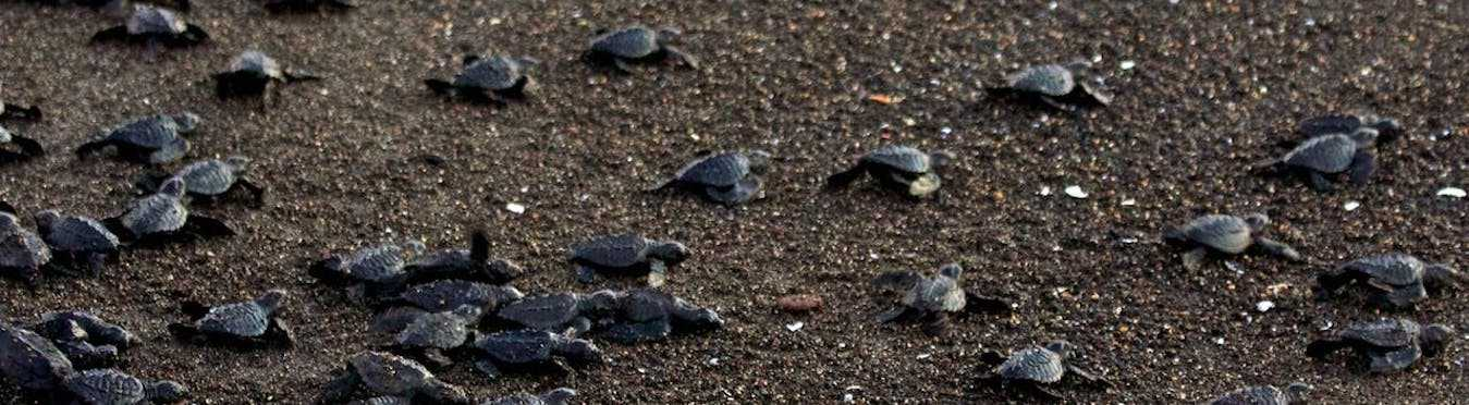 Turtle Conservation in Guatemala